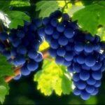 10 распространенных сортов белого винограда
