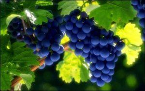 vinograd_chernyj_sort