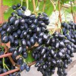 Российские сорта винограда