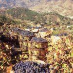 Происхождение культурного винограда витис винифера