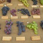 10 распространенных сортов красного винограда