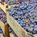 Приемка винограда на переработку