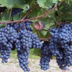 От чего растрескивается виноград
