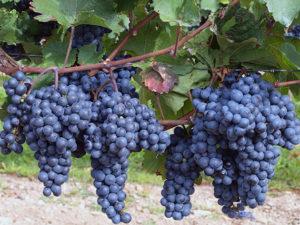 vinograd3a