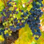 Польза от красного вина